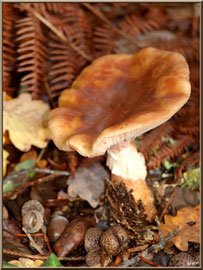 Amanite Rougissante ou Rougeâtre ou Vineuse ou Golmotte en forêt du Bassin d'Arcachon