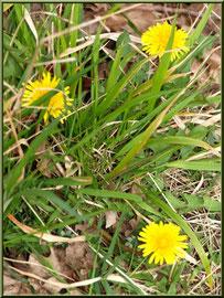 Pissenlits en fleur, flore Bassin d'Arcachon (33)