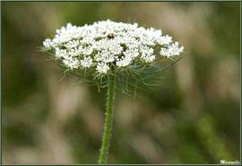 Fleur de Carotte sauvage, flore sur le Bassin d'Arcachon (33)