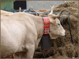 Belle vache de la Vallée d'Ossau, Fête au Fromage, Hera deu Hromatge, à Laruns en Vallée d'Ossau (64)
