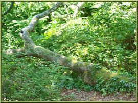 Chêne couché parmi la végétation au Parc de la Chêneraie à Gujan-Mestras (Bassin d'Arcachon)