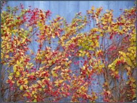 Arbuste hivernal sur fond de cabane au port de Biganos (Bassin d'Arcachon)