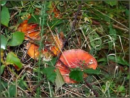 Amanites Tue-mouches, en famille, en forêt sur le Bassin d'Arcachon