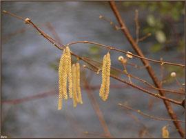 Aulne hivernal avec ses grappes et bourgeons en bordure du Canal des Landes au Parc de la Chêneraie à Gujan-Mestras (Bassin d'Arcachon)