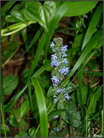 Bugle Rampant ou Consire ou Herbe de Saint-Laurent ou Petite Consoude ou Serragine, flore sur le Bassin d'Arcachon (33)