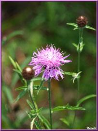 Centaurée Jacée ou Tête de Moineau ou Ambrette, flore sur le Bassin d'Arcachon (33)