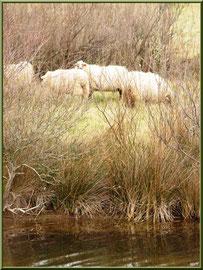 Moutons dans les prés salés, Sentier du Littoral, secteur Moulin de Cantarrane, Bassin d'Arcachon