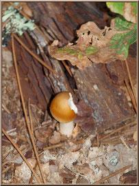 Jeune Amanite Fauve en forêt sur le Bassin d'Arcachon