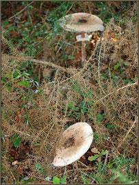 Lépiotes Elevées ou Coulemelles en forêt sur le Bassin d'Arcachon