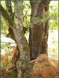 Chêne Liège en forêt de Malakoff (Le Teich), flore Bassin d'Arcachon (33)