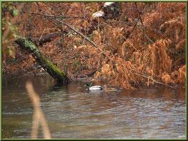 Canards au fil du Canal des Landes au Parc de la Chêneraie à Gujan-Mestras (Bassin d'Arcachon)