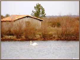 Cygne dans un réservoir sur le Sentier du Littoral, secteur Moulin de Cantarrane, Bassin d'Arcachon
