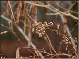 Mûres asséchées hivernales sur fond de gousses d'acacia au Parc de la Chêneraie à Gujan-Mestras (33)