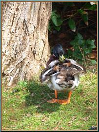 Canard en toilette au Parc de la Chêneraie à Gujan-Mestras (Bassin d'Arcachon)