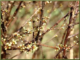 Arbrisseau en boutons de fleurs printanières en bordure du sentier forestier, Sentier du Littoral secteur Pont Neuf, Le Teich, Bassin d'Arcachon (33)