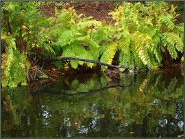 Fougère Royale ou Osmonde Royale ou Fougère Fleurie et ses reflets dans l'eau, flore Bassin d'Arcachon (33)