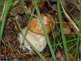 Jeune Cèpe de Bordeaux ou Bolet en forêt sur le Bassin d'Arcachon