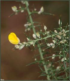 Ajonc en fleurs au Parc de la Chêneraie à Gujan-Mestras (Bassin d'Arcachon)