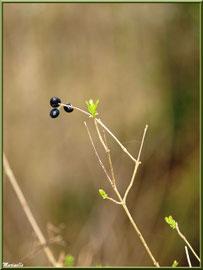 Baies de Troène et jeunes pousses, flore sur le Bassin d'Arcachon (33)