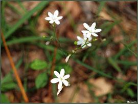 Sabline des Chaumes ou Sabline Controversée, flore Bassind'Arcachon (33)