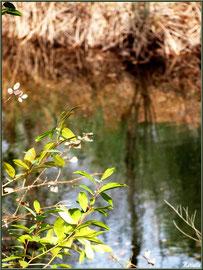 Laurier printanier en bordure du Canal des Landes au Parc de la Chêneraie à Gujan-Mestras (Bassin d'Arcachon)