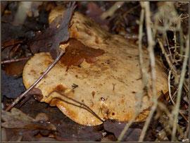 Lactaire Velouté caché en forêt sur le Bassin d'Arcachon