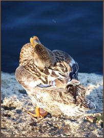 Madame canard se tort la tête au Parc de la Chêneraie à Gujan-Mestras (Bassin d'Arcachon)