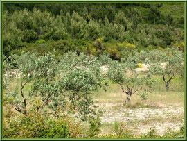 Oliveraie sur la route menant à Aureille (Bouche du Rhône)