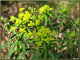 Euphorbe, flore sur le Bassin d'Arcachon (33)
