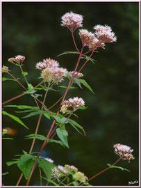 Eupatoire Chavrine ou Chavrin ou Herbe de St Cunégonde ou Origan des marais ou Trèfle de terre en bordure du Canal des Landes au Parc de la Chêneraie à Gujan-Mestras (Bassin d'Arcachon)