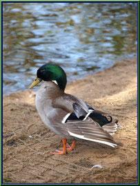 Canard au bord du bassin au Parc de la Chêneraie à Gujan-Mestras (Bassin d'Arcachon)