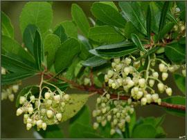 Arbousier en début de floraison, flore sur le Bassin d'Arcachon (33)