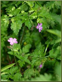 Géranium Molle, flore sur le Bassin d'Arcachon (33)