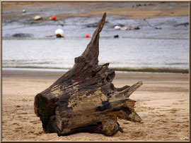 Tronc bois lavé sur la plage