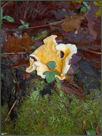 Clitocybe Orangé, telle une fleur, en forêt sur le Bassin d'Arcachon