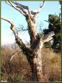 Chêne mort en bordure du Sentier du Littoral, secteur Port du Teich en longeant La Leyre, Le Teich, Bassin d'Arcachon (33)