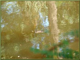 Tortue de Floride nageant au fil du Canal des Landes au Parc de la Chêneraie à Gujan-Mestras (Bassin d'Arcachon)
