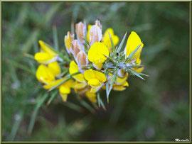 Ajonc en fleurs, flore sur le Bassin d'Arcachon (33)