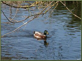 Canard sur le bassin au Parc de la Chêneraie à Gujan-Mestras (Bassin d'Arcachon)