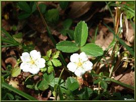 Fraisier des Bois au soleil, flore sur le Bassin d'Arcachon (33)