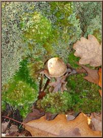 Coprins Desséminés en forêt sur le Bassin d'Arcachon