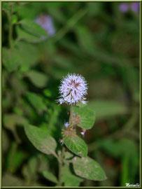 Menthe sauvage, flore sur le Bassin d'Arcachon (33)