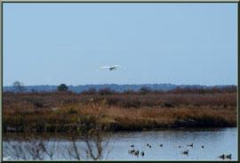 Aigrette en vol au-dessus des canards et réservoirs sur le Sentier du Littoral, secteur Moulin de Cantarrane, Bassin d'Arcachon