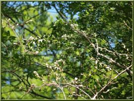 Aubépine en fleurs, flore sur le Bassin d'Arcachon (33)