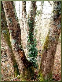 Chêne à 4 troncs au Parc de la Chêneraie à Gujan-Mestras (Bassin d'Arcachon)