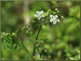 Grande Ciguë ou Ciguë de Socrate ou Ciguë officinale ou Ciguë tachetée ou Fenouil sauvage, flore sur le Bassin d'Arcachon (33)