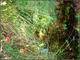 Amanites Tue-mouches en famille, au bord d'un ruisseau, en forêt sur le Bassin d'Arcachon