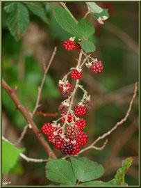 Grappe de Mûres, fruits du Roncier, flore Bassin d'Arcachon (33)