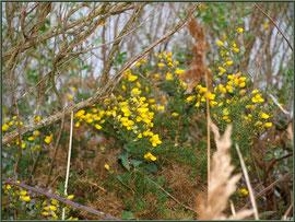Ajonc en fleurs et roseau en bordure du Sentier du Littoral, secteur Moulin de Cantarrane, Bassin d'Arcachon