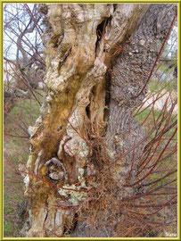 Vieux tronc de tamaris